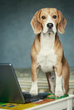 Nosy beagle near laptop Royalty Free Stock Photo