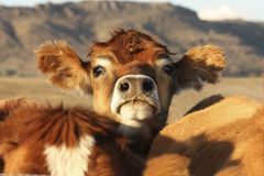 Nosy cow royalty free stock photography