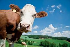 Nosy Cow Stock Photos