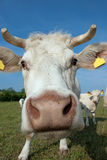 Nosy cow Royalty Free Stock Images