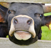 Nosy Cow. Close up of a black young cow in a field looking through a gate Stock Photography