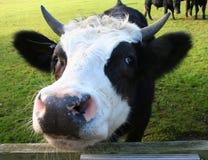 Nosy cow's head. royalty free stock photography
