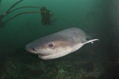 Nosy cow shark Royalty Free Stock Photos