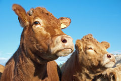 Nosy cows Royalty Free Stock Photography