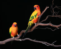 Nosy and Curious Sun Conures Stock Photos
