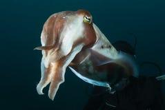 Nosy cuttlefish Stock Image