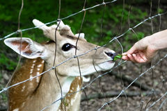 Nosy deer being fed Stock Images
