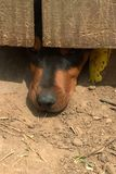 Nosy Dog Royalty Free Stock Photography