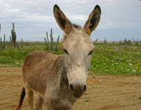 Nosy donkey Royalty Free Stock Images