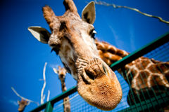Nosy Girraffe Royalty Free Stock Photo