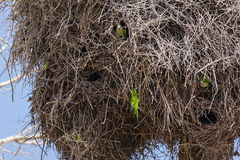 Nosy Gray Cheeked Parakeets Peeking at Neighbors in Nest Royalty Free Stock Photography