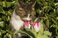 Nosy kitten smelling at pink and white tulips in the garden Stock Photos