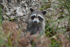 Nosy raccoon spying Royalty Free Stock Photography