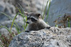 Nosy river raccoon spying 3 Stock Images