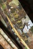 Nosy Mangabe Gecko Stock Image