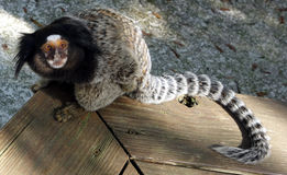 A nosy monkey Royalty Free Stock Image