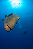 Nosy Napoleon Wrasse Royalty Free Stock Images