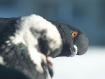 Nosy pigeon Royalty Free Stock Photography