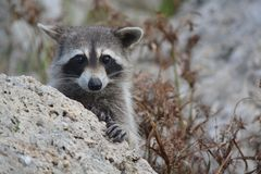 Nosy river raccoon spying Royalty Free Stock Images