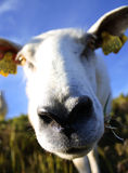 Nosy sheep. With focus on its nose Stock Photography
