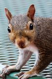 Nosy Squirrel Stock Image