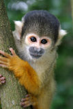 Nosy squirrel monkey Stock Image