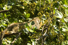 Nosy squirrel monkey Stock Photos