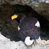 Nosy Stellers sea eagle Stock Photos