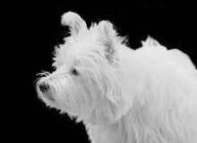 Nosy westie Stock Photos