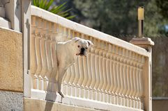Boxer dog peering from the balcony. Nosy white boxer dog watching from the balcony Stock Photo