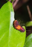 Nosymna Stipella caterpillar Stock Photography