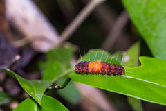 Nosymna Stipella caterpillar Stock Photos