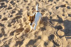 Not abruptly with motion blur. Little beautiful funny doggy Jack Russell Parson Terrier enthusiastically and cheerfully plays on stock photo