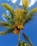Not all palm trees have coconuts ... stock photography