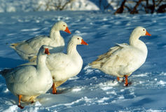 Not all in a row. Birds trying to find warmth in the winter Stock Image