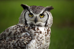 Not Amused. Great Horned Owl with an angry expression on his face Royalty Free Stock Photos