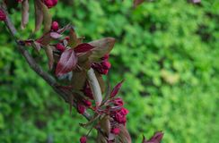 Not yet blooming flowers burgundy cherry plum spring in the garden royalty free stock photography