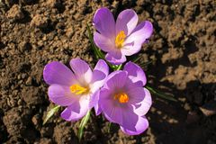 Not blooming three purple crocus royalty free stock images