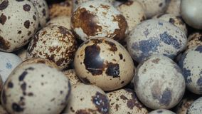 Quail eggs on the poultry farm
