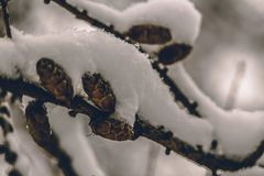 Chestnuts frozen on a branch royalty free stock image