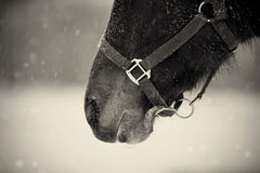 Not color photo of a muzzle of a brown horse in a halter Royalty Free Stock Images