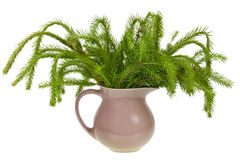 Not decorated Christmas fir Stock Image