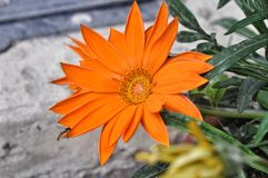 Not dissolve until end of Gazania flower Royalty Free Stock Photography