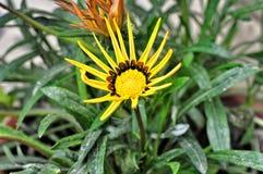 Not dissolve until end of Gazania flower Royalty Free Stock Photo