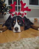 A Bernese Mountain dog wears antlers on Christmas royalty free stock photography