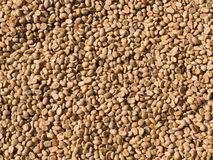 Not fried grains of raw coffee Royalty Free Stock Photography
