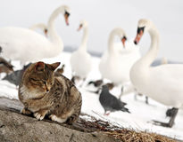 Not friendly birds. Cat and birds Royalty Free Stock Photos