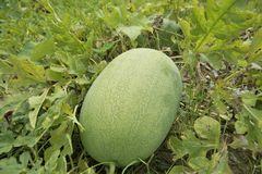 Not yet harvest watermelon. Royalty Free Stock Photos
