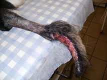 Not healing wound on tail by shepherd dog Stock Photos