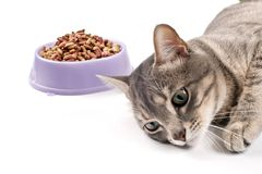 Not hungry cat. The cat lies near a bowl with food and doesn't want to eat Royalty Free Stock Photography